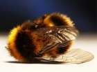 Declining Bee Populations Pose A Severe Threat to Global Agriculture