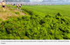 Green Algae Swamping Chinese Sea – More climate change proof