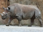 Africa's Western Black Rhino Is Officially Extinct